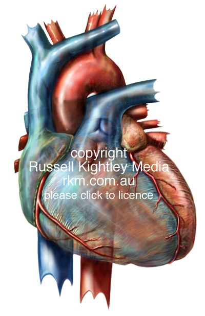 Human Heart By Russell Kightley Media