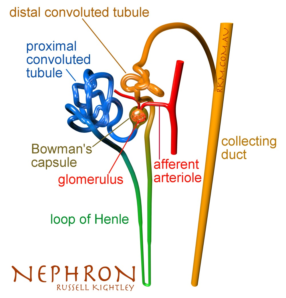 Human Kidney diagram  graphic   Labeled Nephron Bowmans Capsule