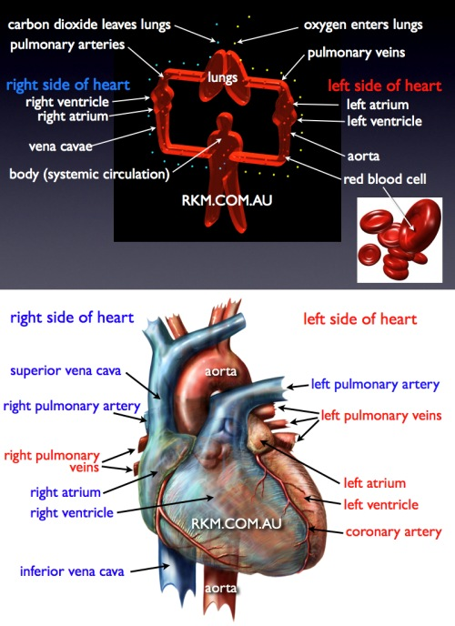 circulation of the blood & heart anatomy model: labelled diagram