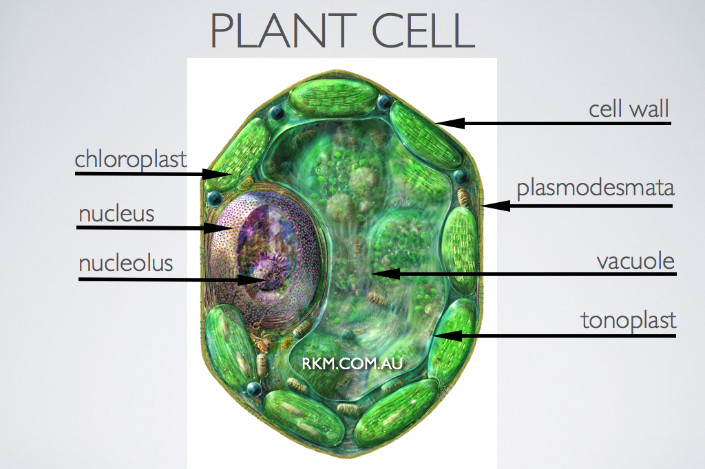 Plant Cell By Russell Kightley Media