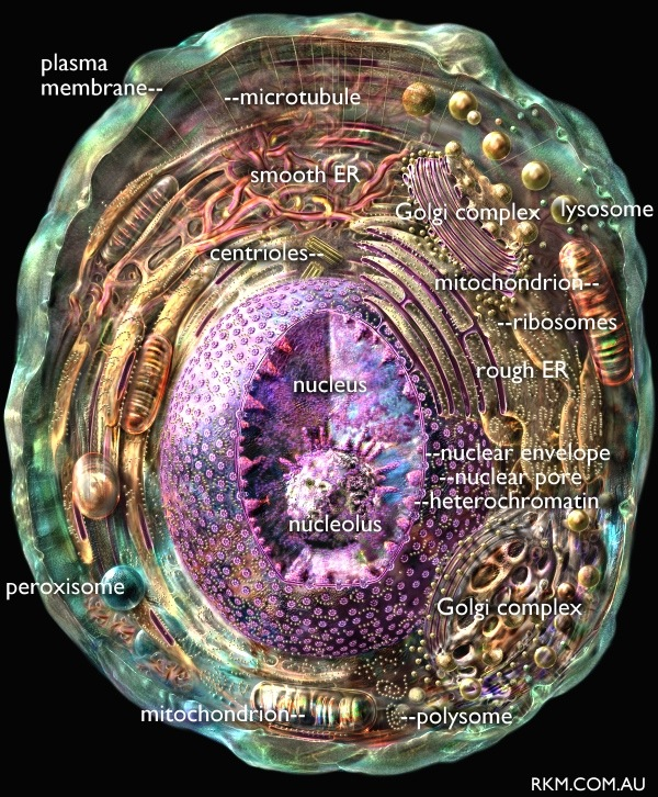 animal cell diagram (graphic) with organelles labelled