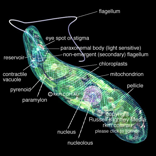 Euglena By Russell Kightley Media