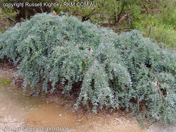 Photographs Of Australian Native Plants Acacia Baileyana Prostrate