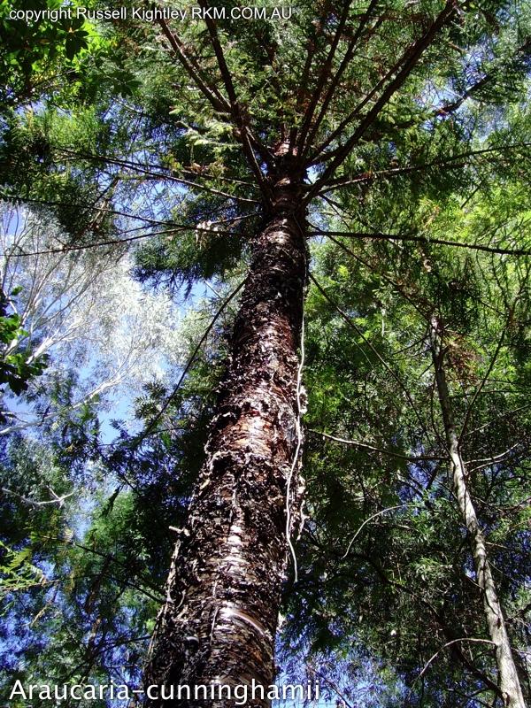 Native Australian Plants And Trees Australian Native Plants