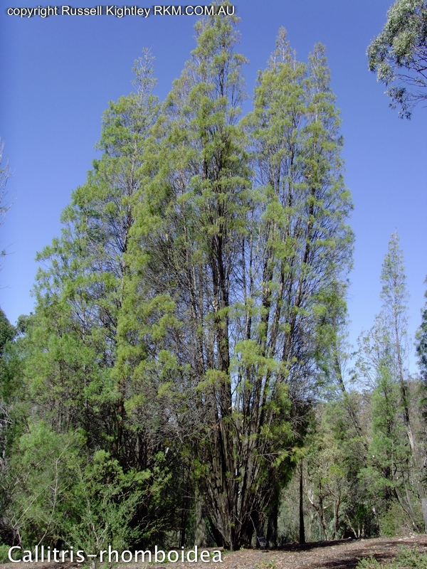 photosythesis in pine trees Do trees really absorb greenhouse gases, and if so a tree absorbs carbon during photosynthesis and stores it in the wood for the life of the tree.