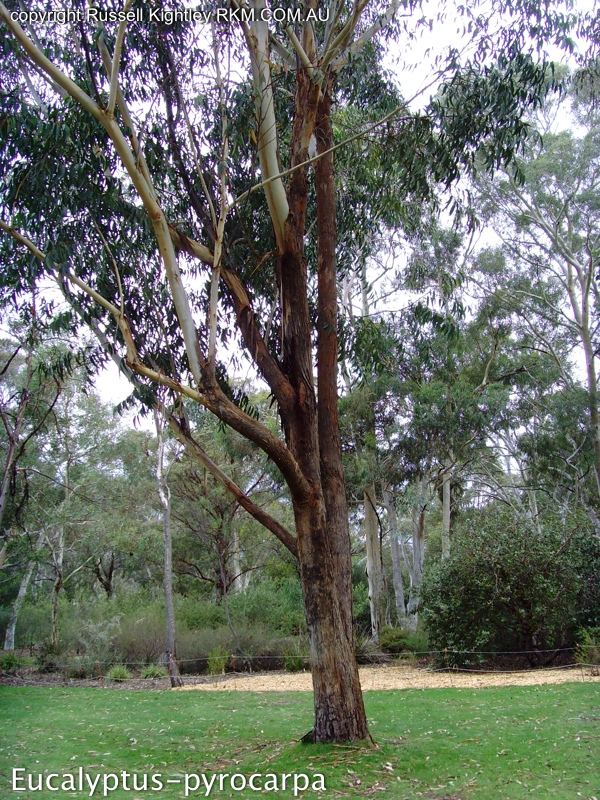 6e4600b7061b0 Photographs of Australian Native Plants  Trees  Australian Eucalypts ...