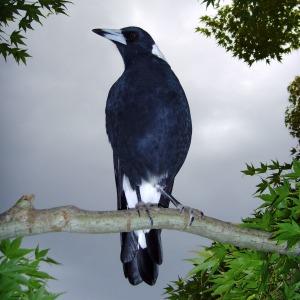 Photographs Of Australian Birds Australian Magpies