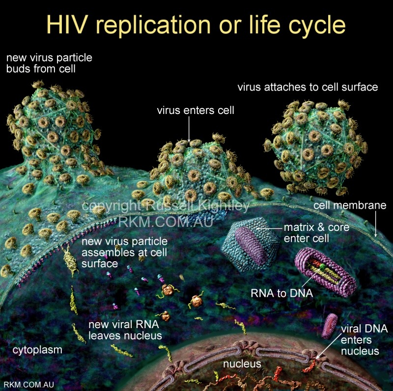 hiv aids virus replication viral life cycle diagram by. Black Bedroom Furniture Sets. Home Design Ideas