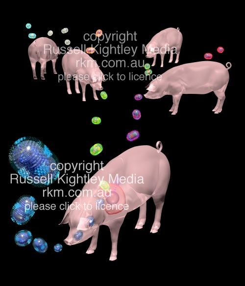 Swine Flu Reassortment Of Flu Strains In A Pig Influenza Virus H1n1 Mexican Flu