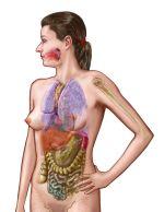 female anatomy: anatomical figure showing major internal organs