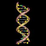 DNA molecule coils 17 bp