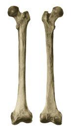 illustration of human femur