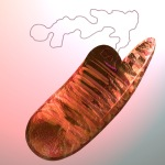 mitochondrial-DNA