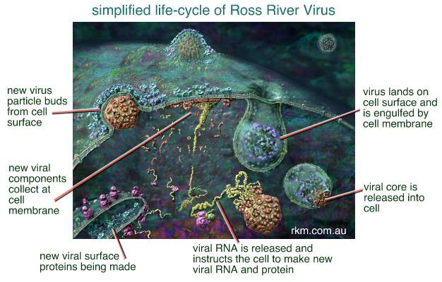 Ross River Virus life cycle or replication image